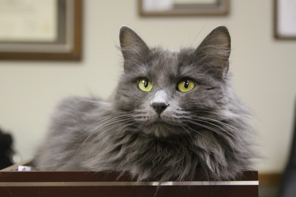 What Breed is Grace The Therapy Cat?
